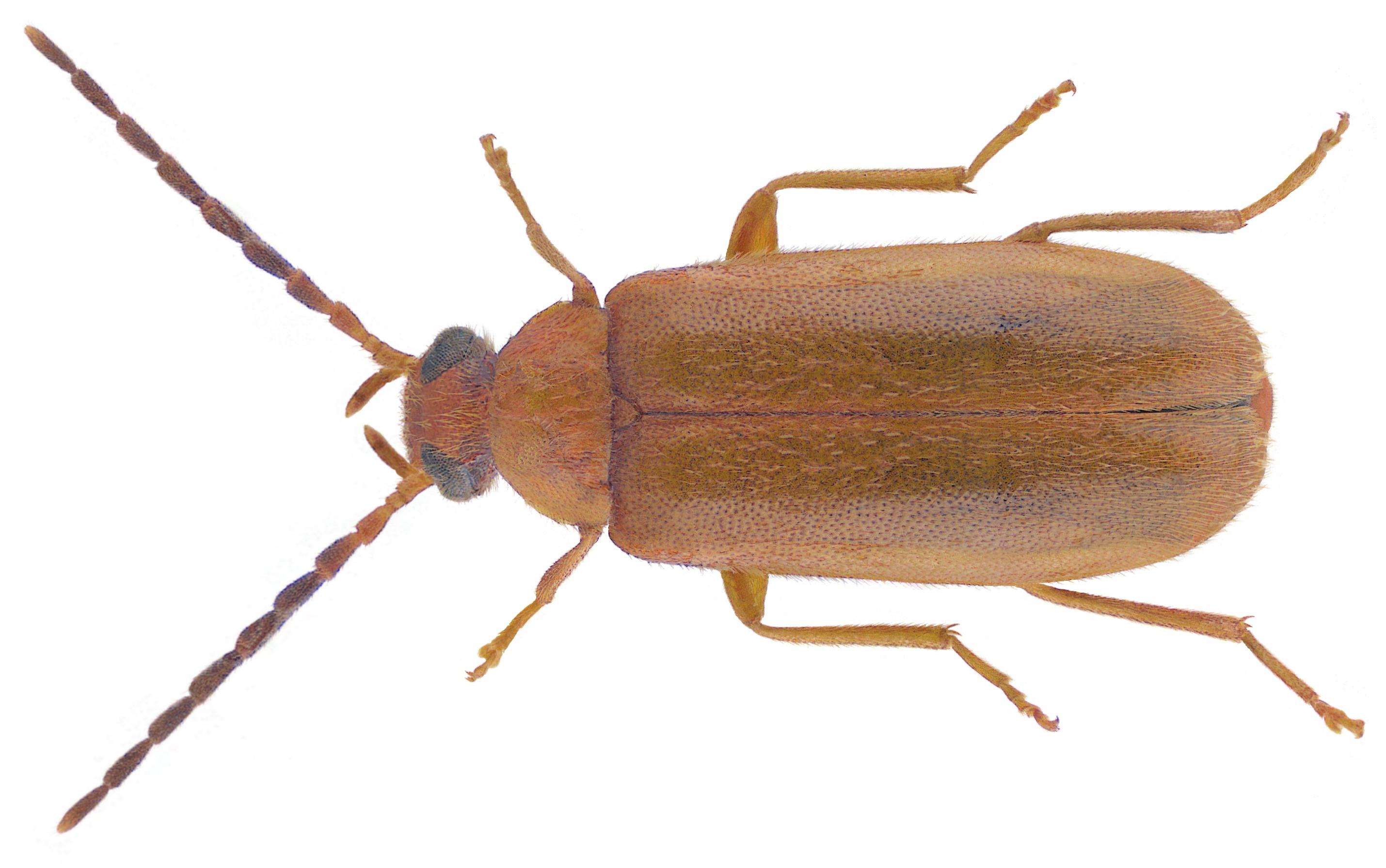 Image of <i>Conopalpus testaceus</i>