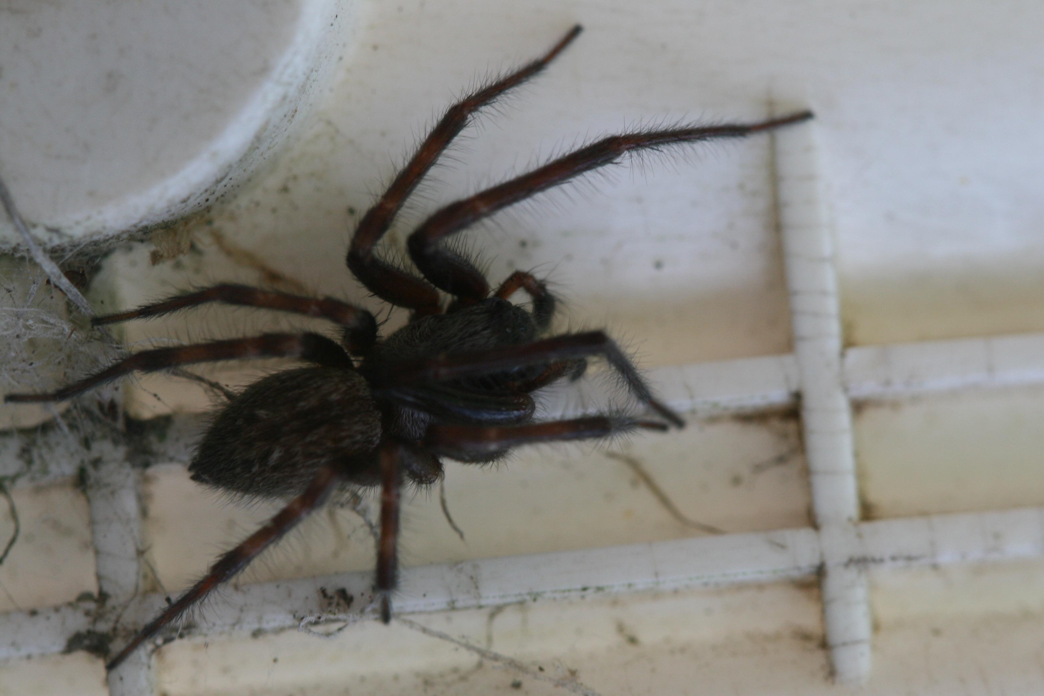 Image of Desid spider