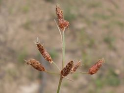 Image of <i>Fimbristylis velata</i>