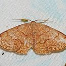 Image of <i>Isoplenia trisinuata</i> Warren 1897