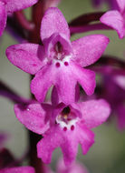 Image of Four-spotted Orchis