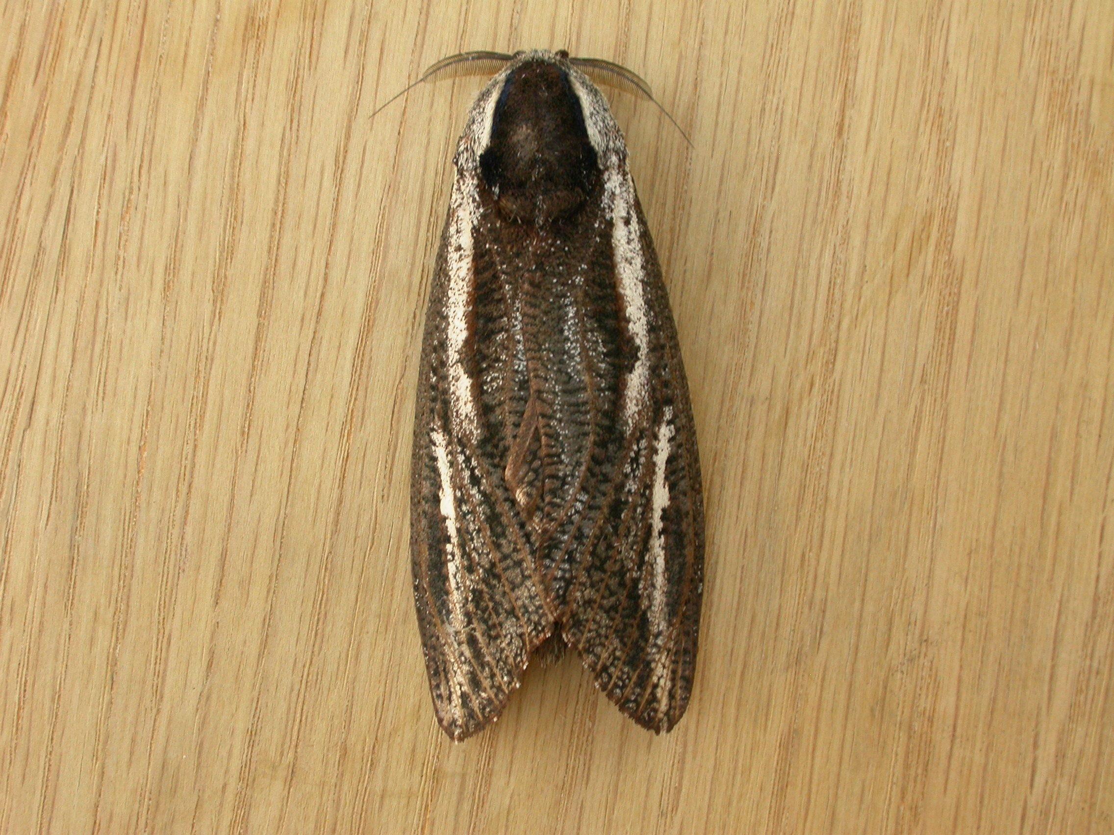 Image of <i>Endoxyla leucomochla</i>