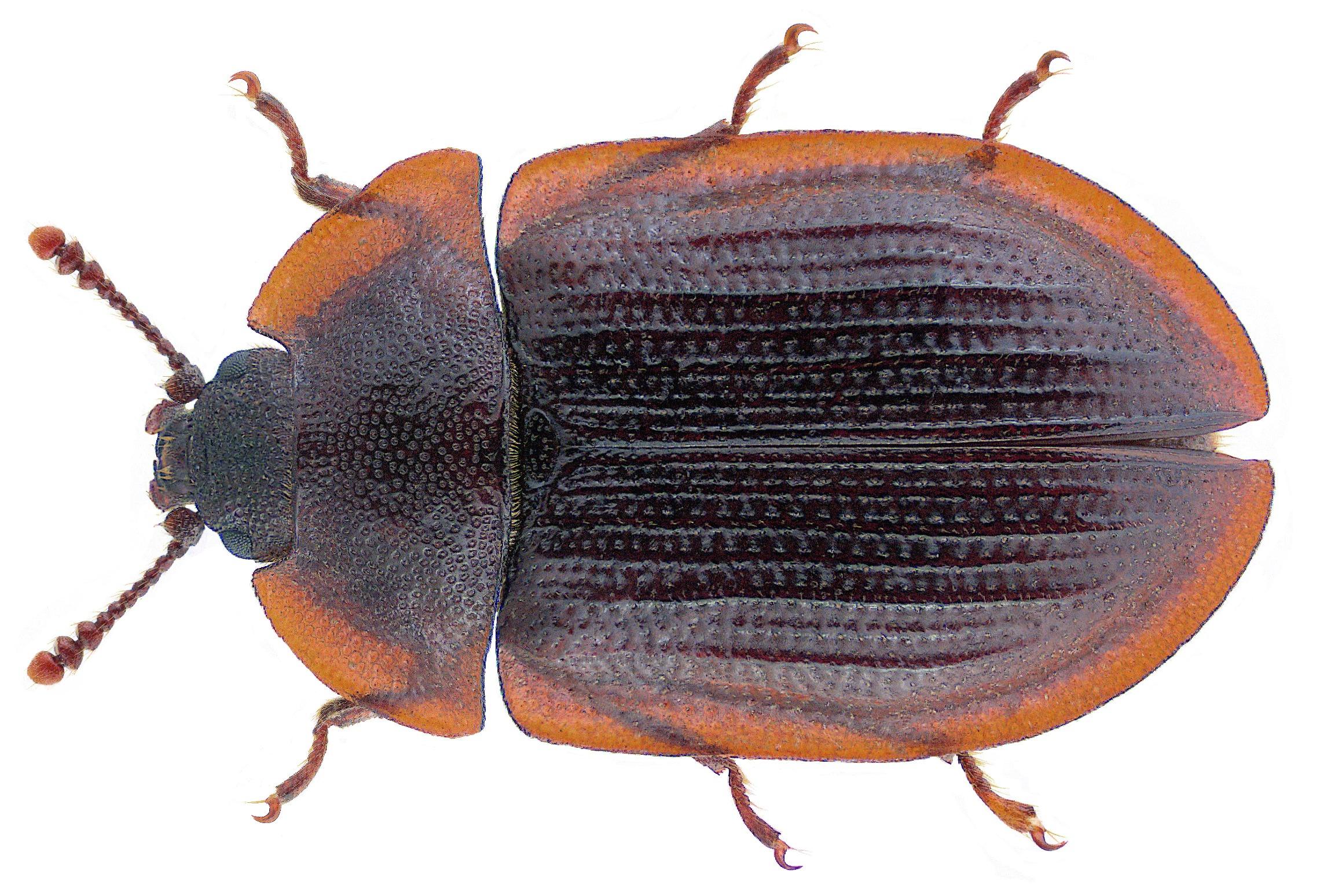 Image of <i>Ostoma ferruginea</i> (Linnaeus 1758) Linnaeus 1758