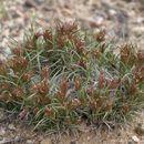 Image of King's eyelashgrass
