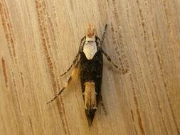 Image of <i>Trachydora pygaea</i>