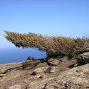 Image of Phoenician Juniper