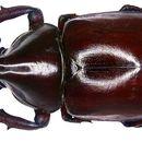 Image of Rhinoceros Beetles