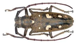 Image of rubber root borer