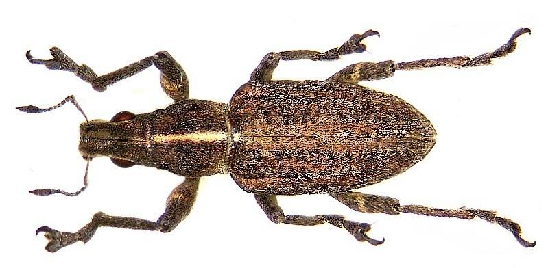 Image of <i>Sitona gressorius</i>
