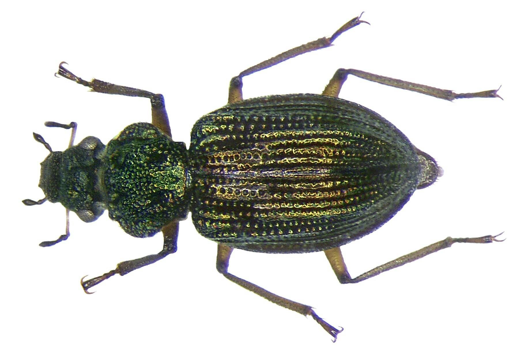Image of <i>Ochthebius</i> (<i>Enicocerus</i>) <i>granulatus</i> Mulsant 1844