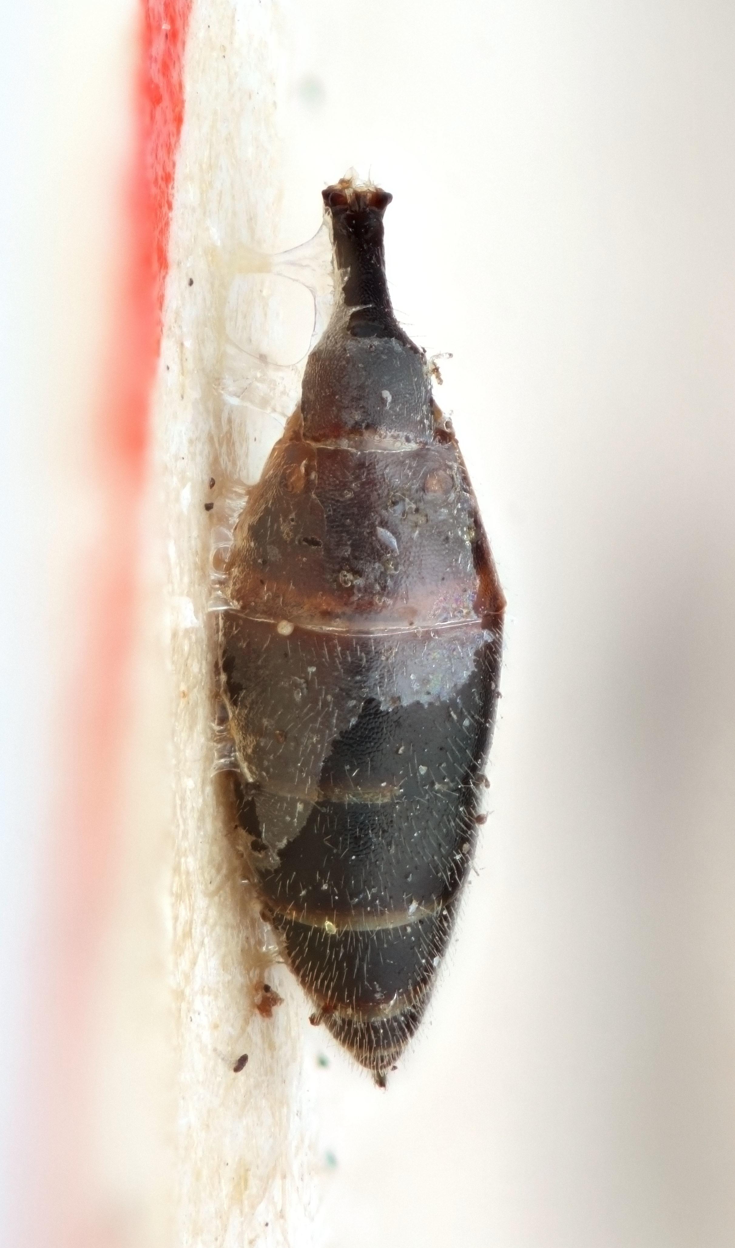 Image of <i>Canidia anura</i>