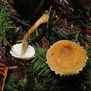 Image of Cystoderma
