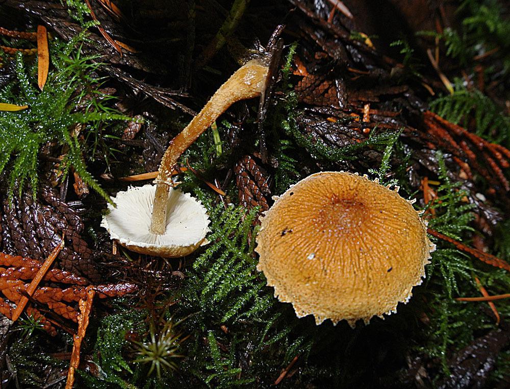 Image of earthy powder-cap