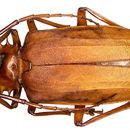 Image of <i>Dorysthenes</i> (<i>Paraphrus</i>) <i>granulosus</i> (Thomson 1861)