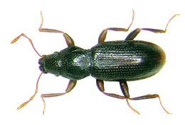 Image of <i><i>Hydraena</i></i> (Hydraena) <i>gracilis</i> Germar 1823