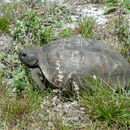 Image of Gopher Tortoise
