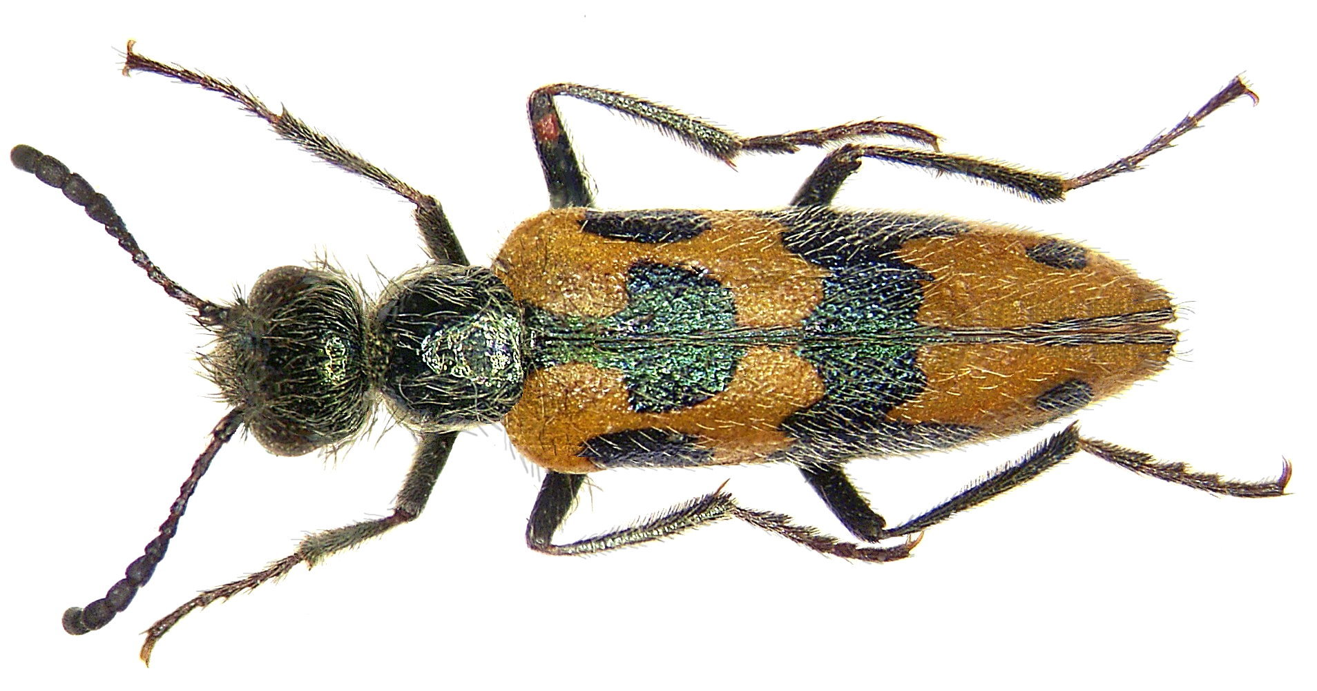 Image of <i>Mylabris hemprichi</i> Klug 1845