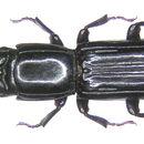 Image of <i>Passandra heros</i> (Fabricius 1801)