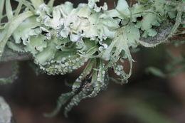 Image of <i>Parmotrema reticulatum</i>