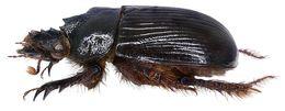 Image of <i>Ceratophyus hoffmannseggi</i> (Fairmaire 1856)
