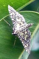 Image of <i>Glyphodes onychinalis</i>