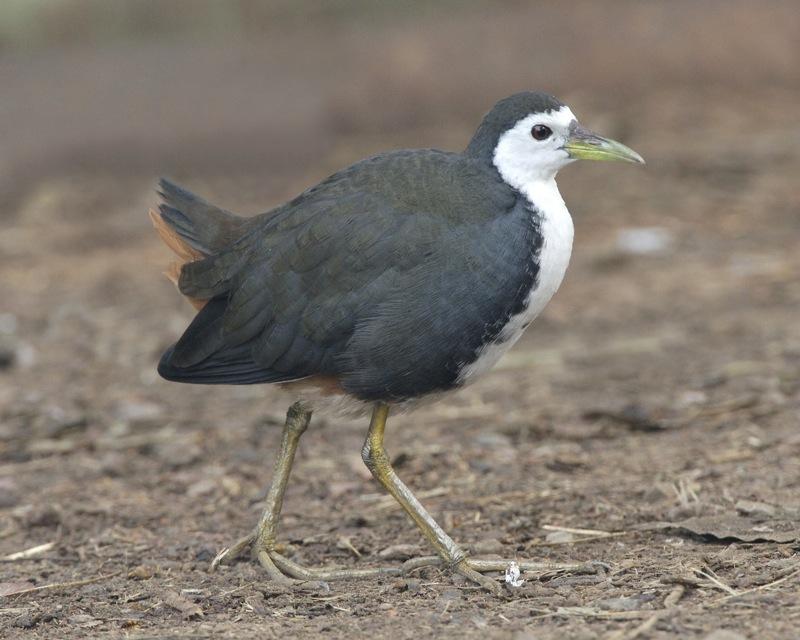 Image of <i>Amaurornis <i>phoenicurus</i></i> phoenicurus (Pennant 1769)