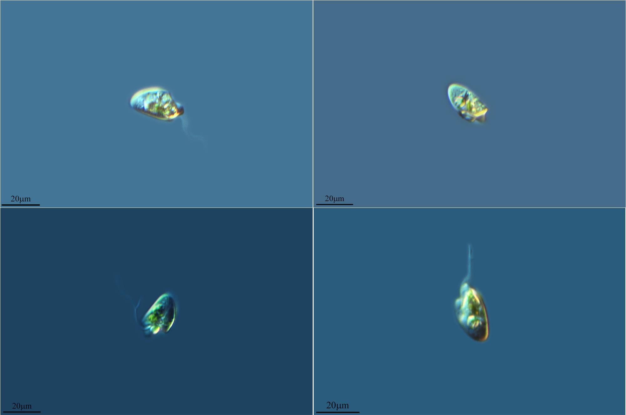 Image of <i>Oxyrrhis marina</i>