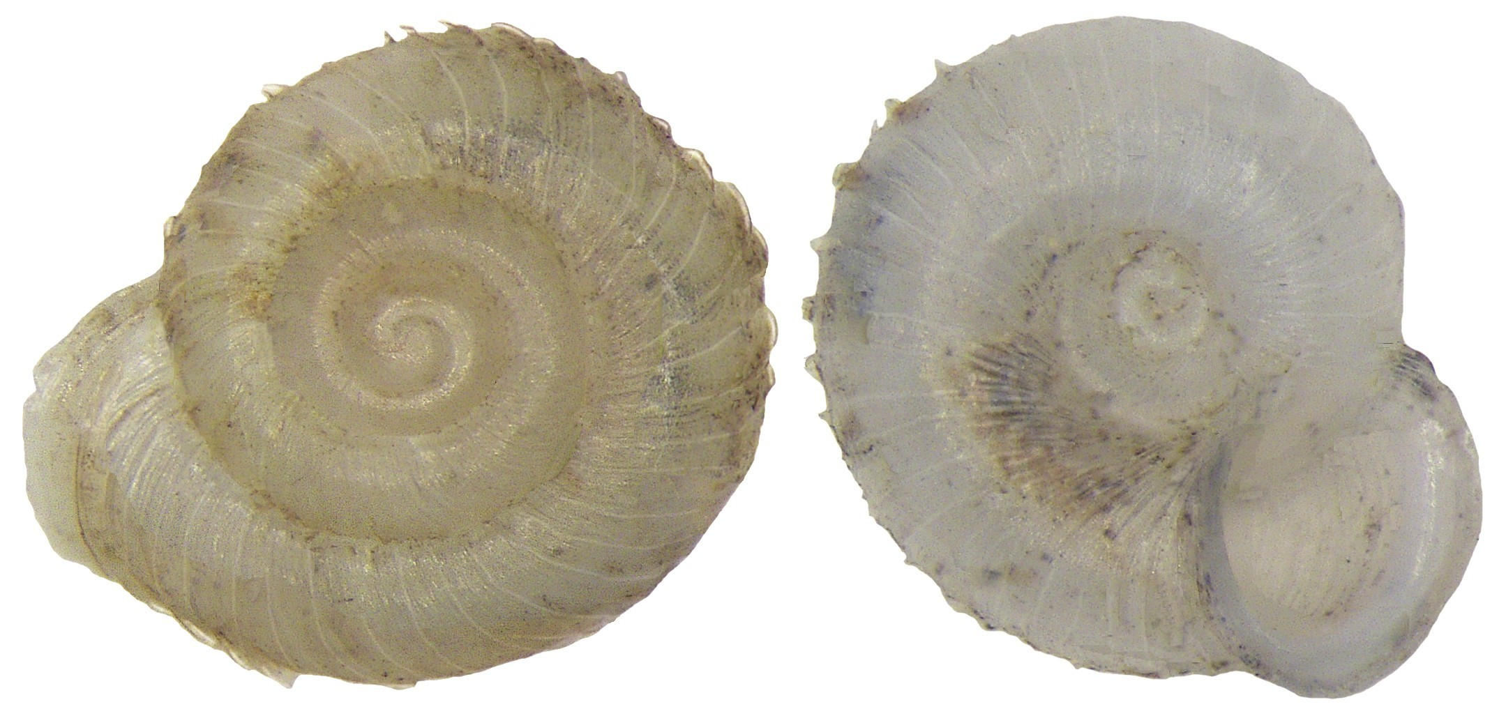 Image of ribbed grass snail