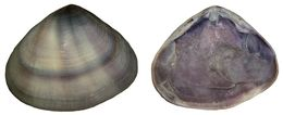 Image of <i>Donax cuneatus</i> Linnaeus 1758