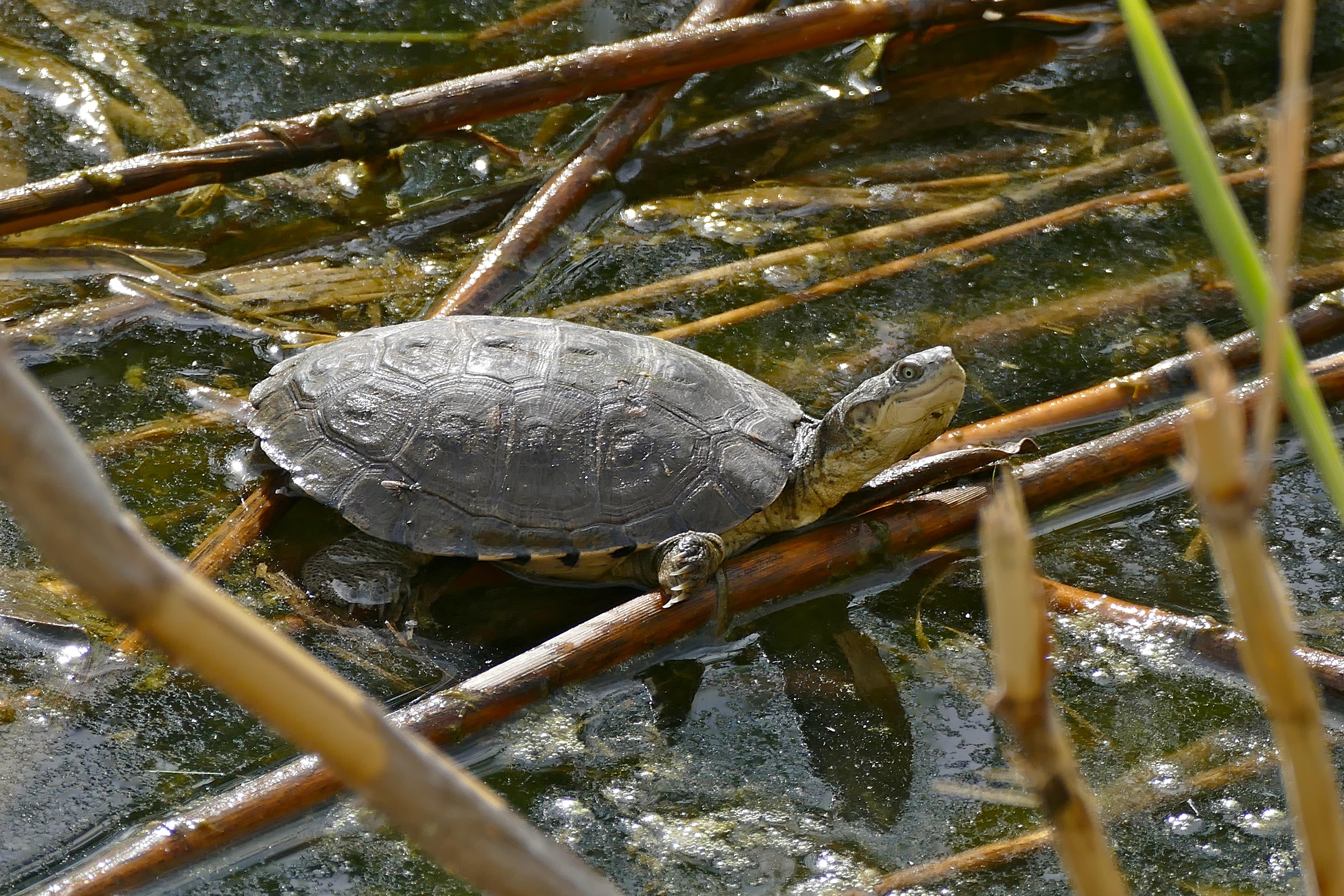Image of Helmeted Turtle