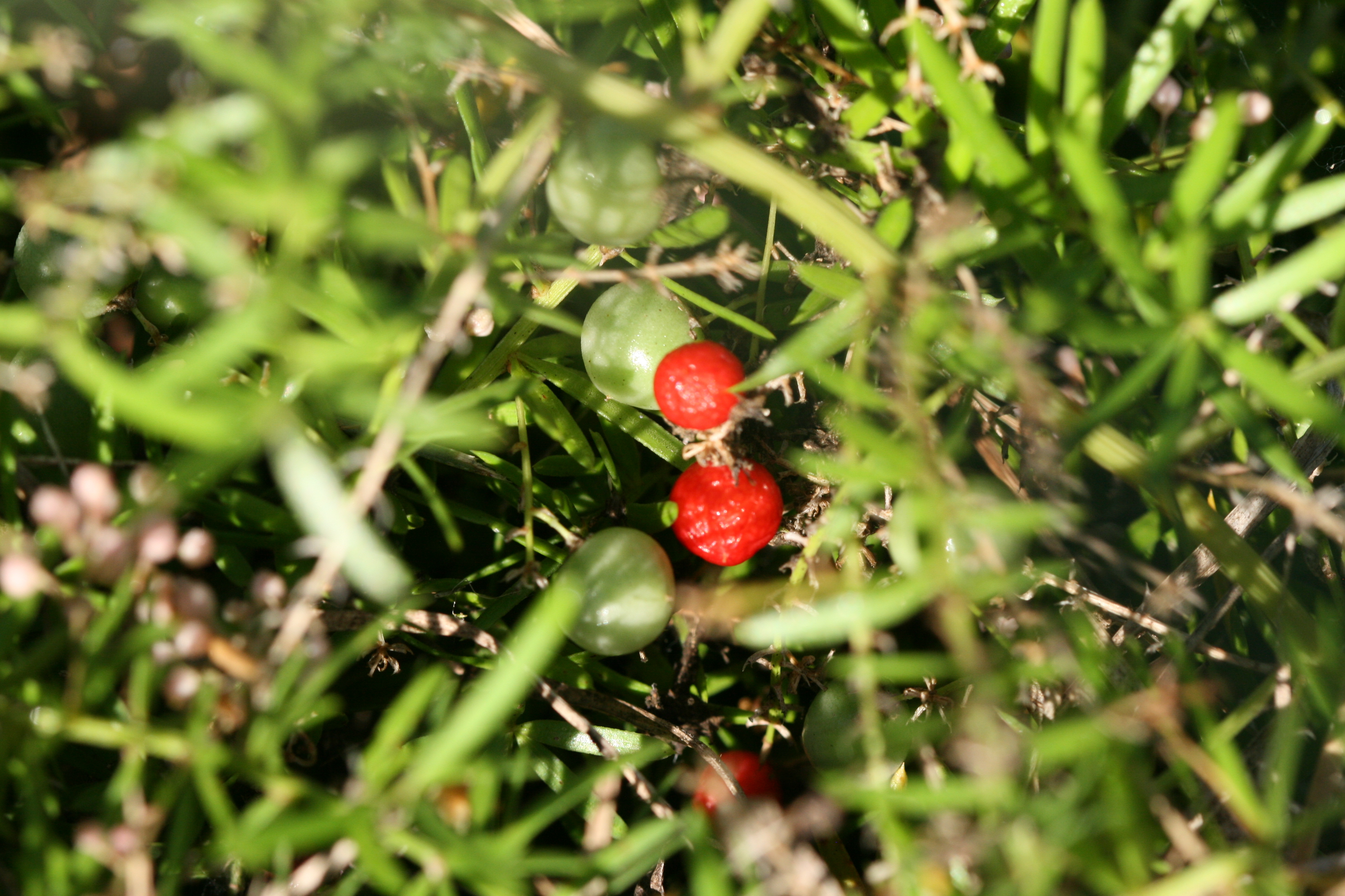 Image of Sprenger's Asparagus