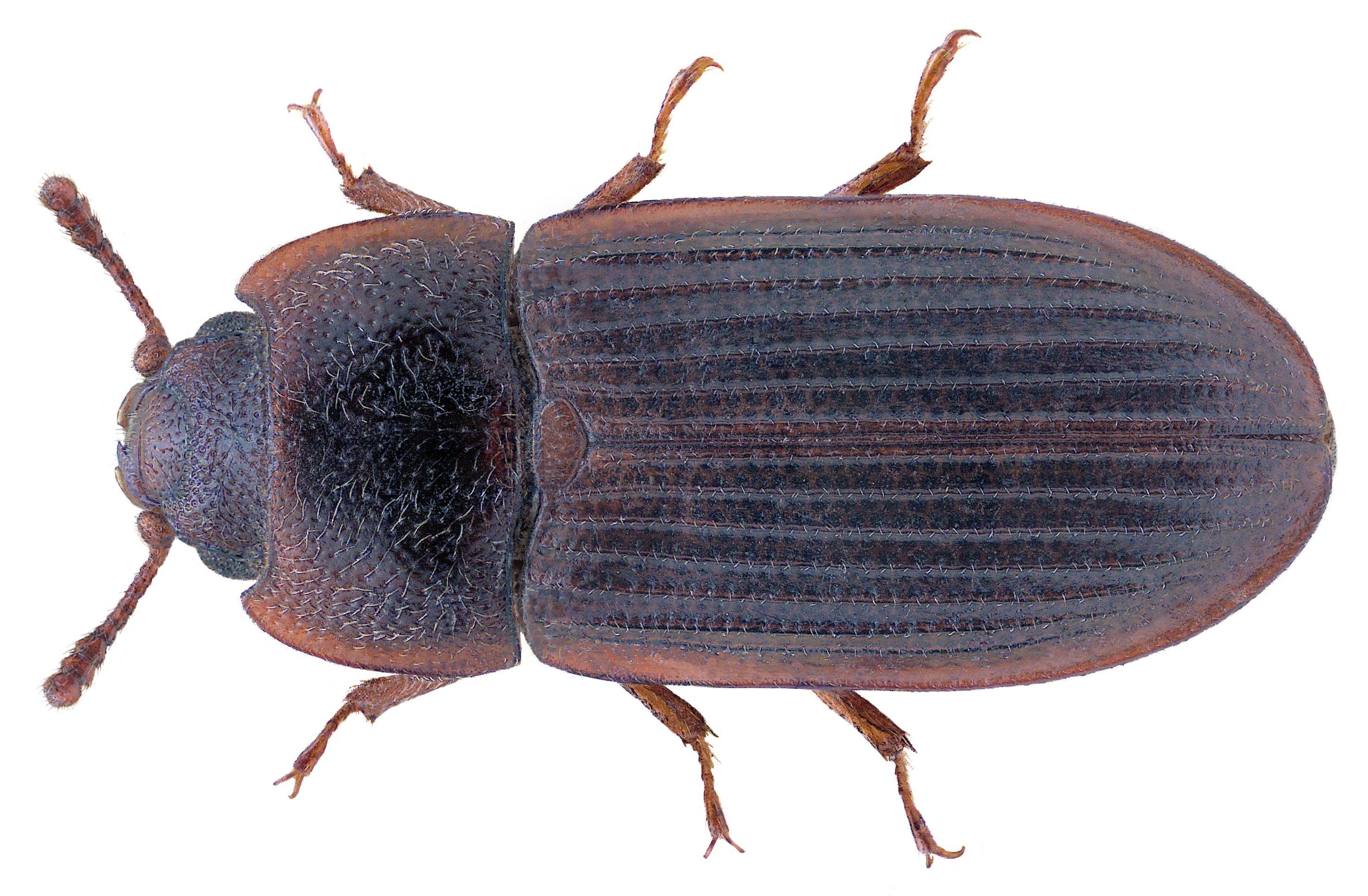Image of <i>Lophocateres pusillus</i>