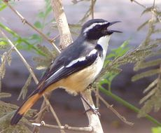 Image of White-throated Robin