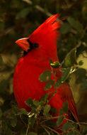 Image of Northern Cardinal
