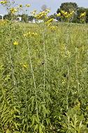 Image of tall tickseed