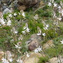 Image of <i>Asphodelus aestivus</i> Brot.