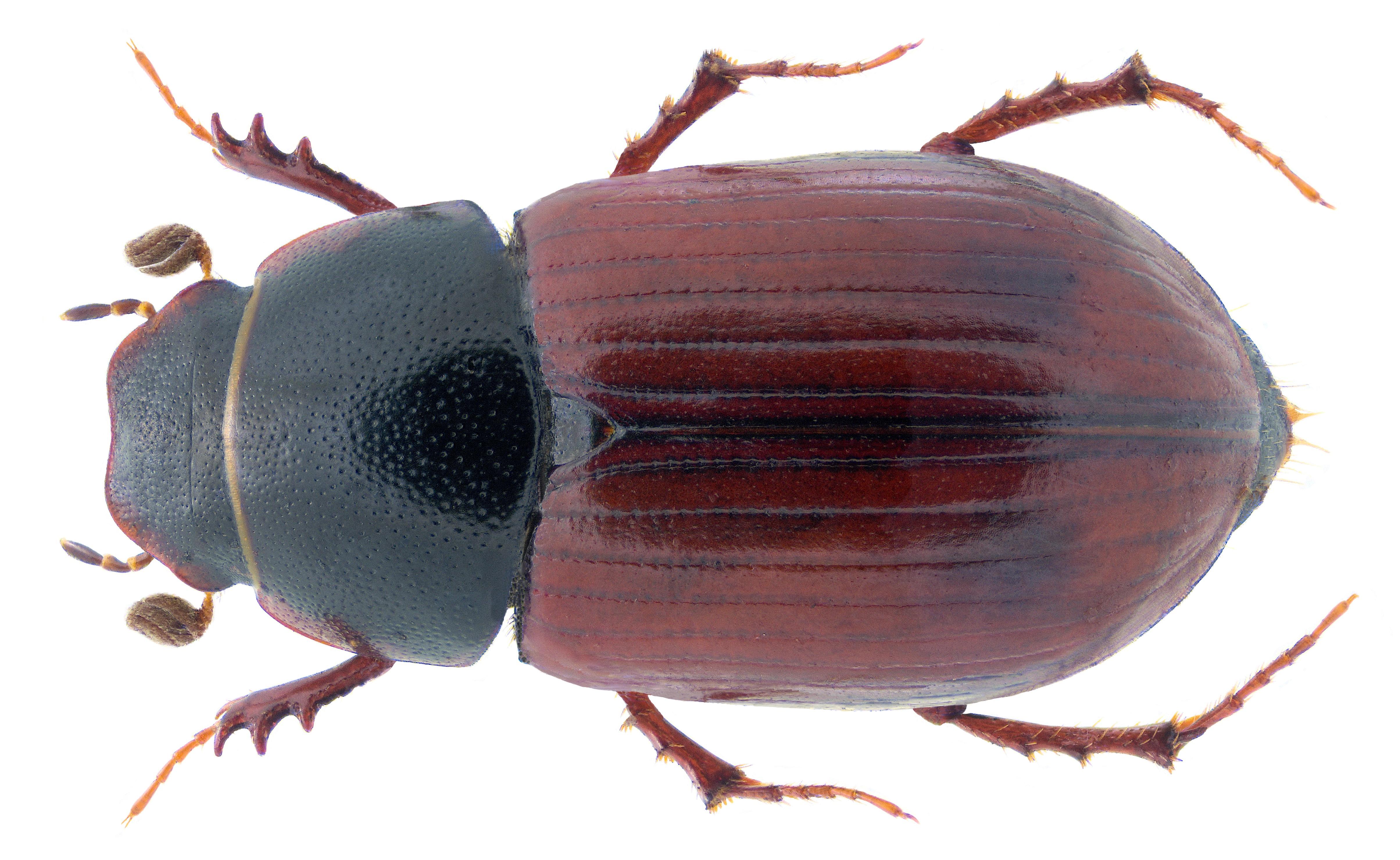 Image of <i>Planolinus fasciatus</i> (Olivier 1789)