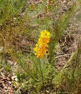 Image of <i>Lebeckia sepiaria</i> (L.) Thunb.