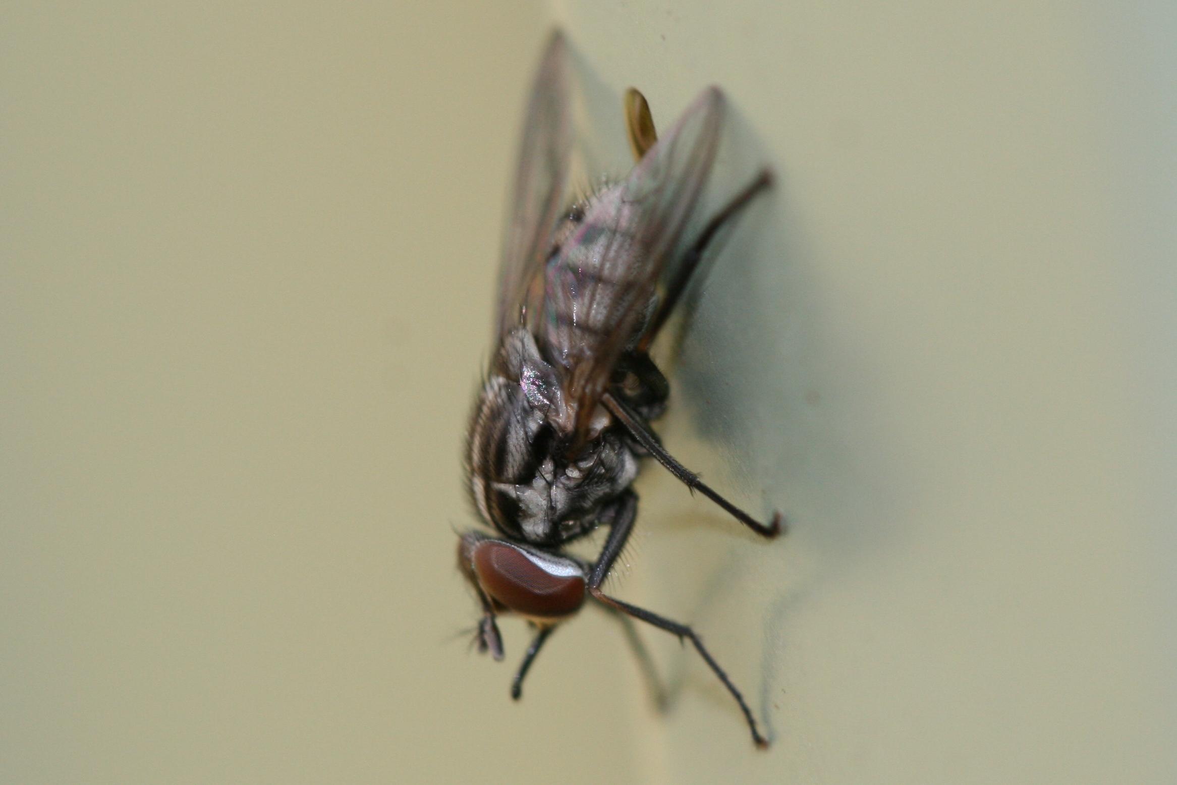 Image of <i>Musca vetustissima</i> Walker 1849