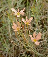 Image of <i>Moraea bulbillifera anomala</i>