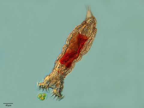 Sivun <i>Philodina roseola</i> Ehrenberg 1832 kuva