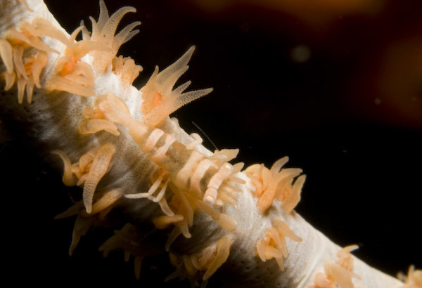 Image of Whip coral shrimp