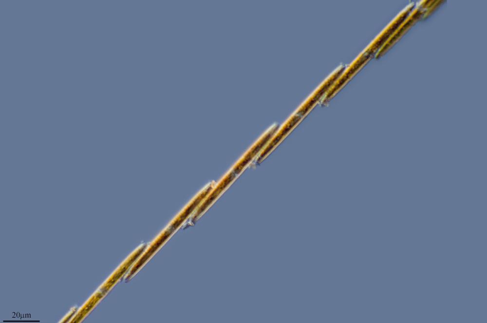 Image of <i>Bacillaria paxillifera</i>