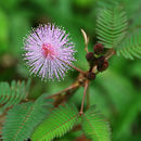 Image of Sensitive Plant