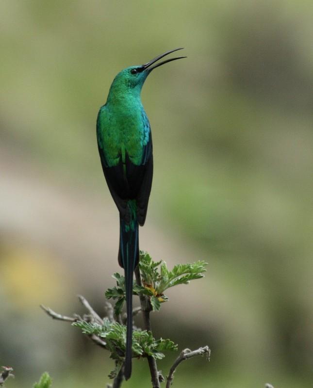 Image of Malachite Sunbird