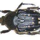 Image of <i>Tetragonorrhina induta</i> (Janson 1877)
