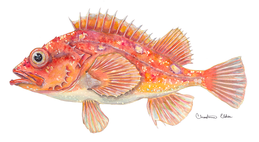 Image of Rosy rockfish