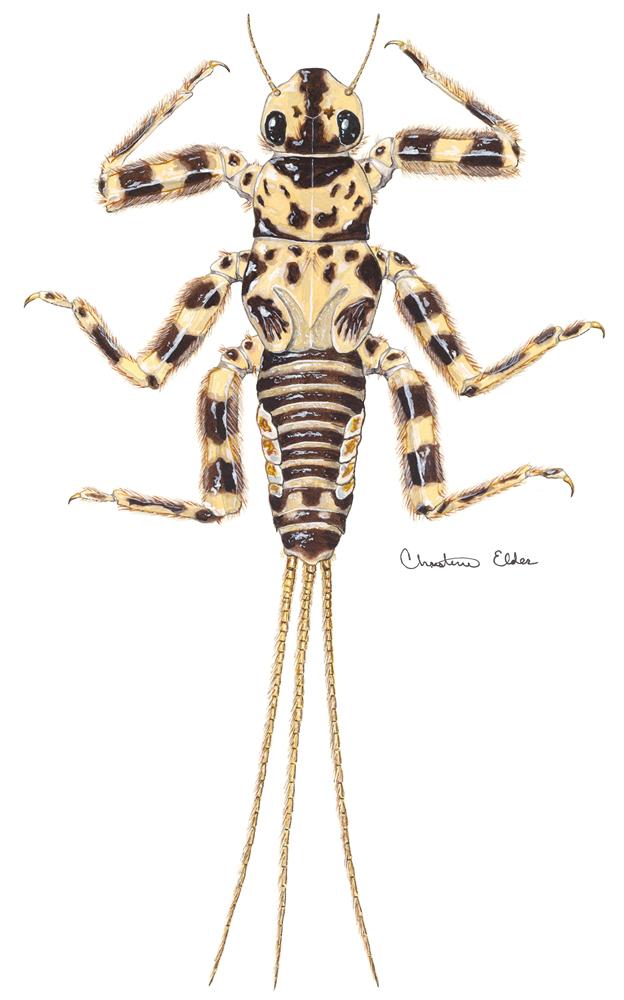 Image of <i>Drunella pelosa</i> (Mayo 1952)