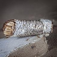 Image of Pecan Carpenterworm Moth