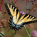 Image of swallowtails